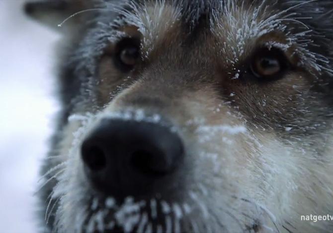 Una vita con i cani da slitta
