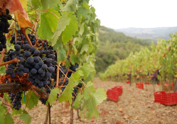 Vendemmia, dove andare a raccogliere l'uva