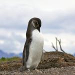 Camminare fra i pinguini della Terra del Fuoco