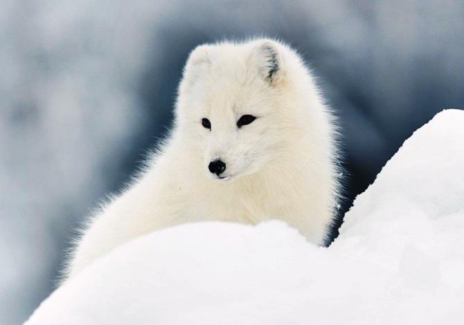 borgafjall Volpe Artica