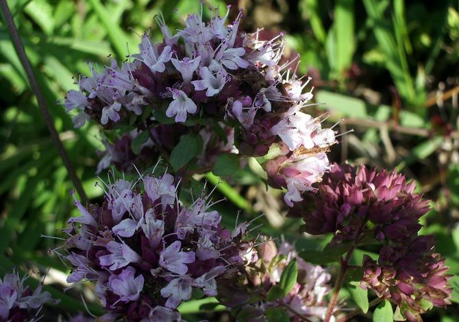 maggiorana piante aromatiche