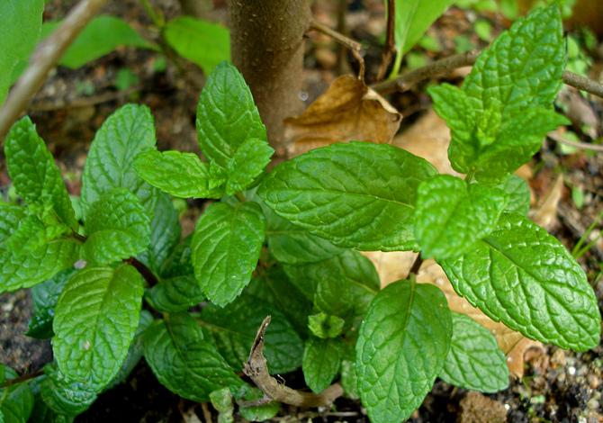 menta piante aromatiche