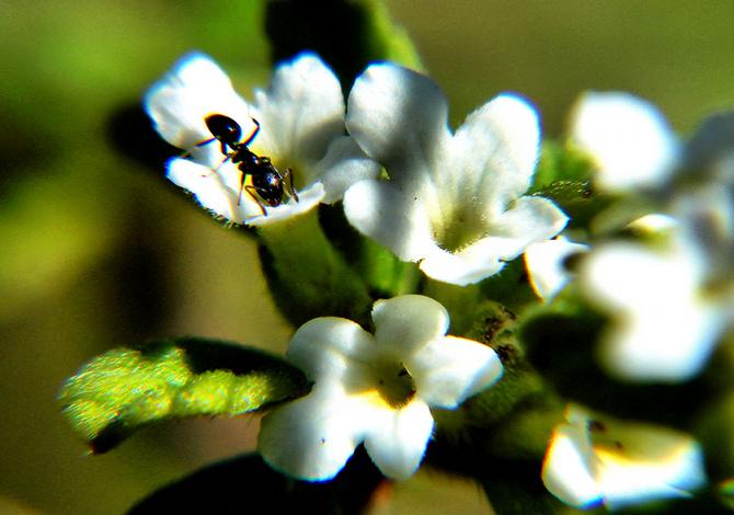 origano piante aromatiche