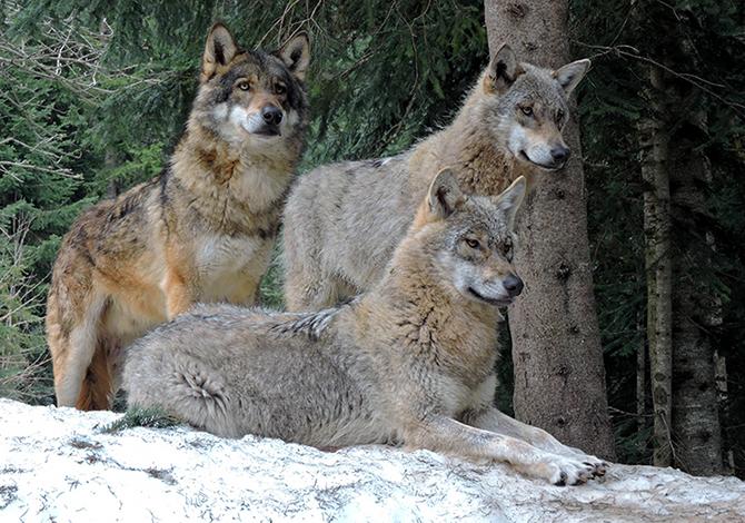 Orso, lupo, lince e gipeto: il ritorno dei grandi ...