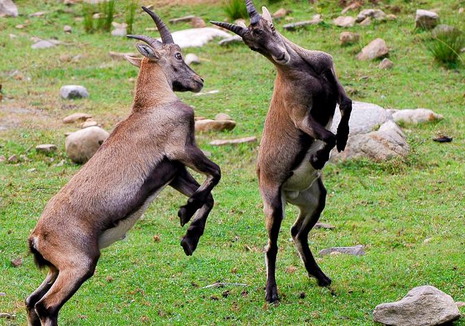 Fotografare Fauna Alpina