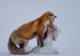 Wildlife Photographer of the Year 2015: le foto vincitrici