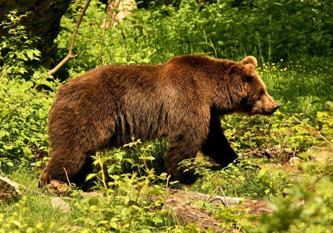 Orso bruno, Ursus arctos fotografato in un'area protetta e controllata, Baviera, Germania