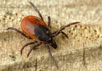 Cosa e la malattia di Lyme e perche si sta diffondendo anche in Europa