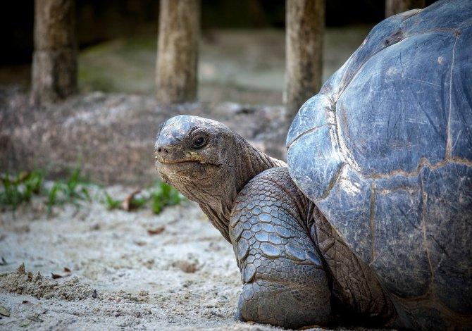 tartaruga_gigante