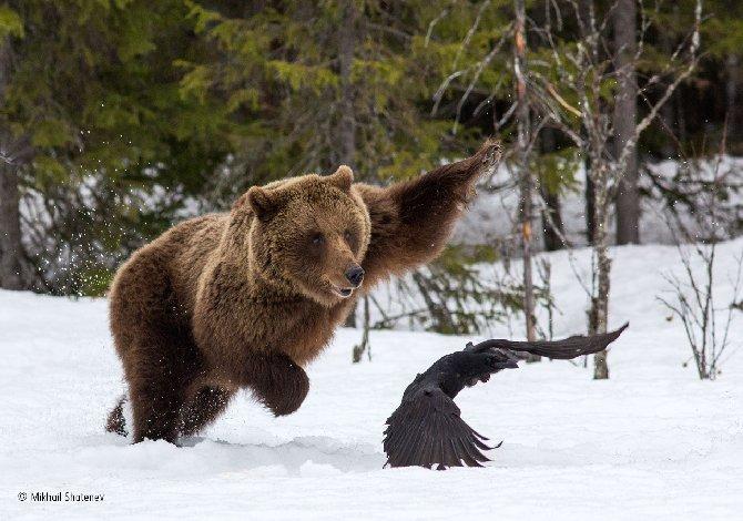 13_© Mikhail Shatenev (Russia)_Attenti a una mamma orsa b