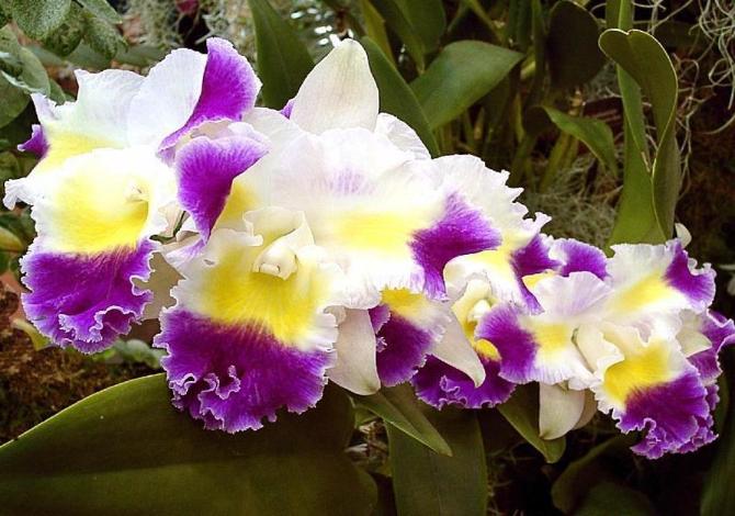 festa_limoni_mentone_orchidee