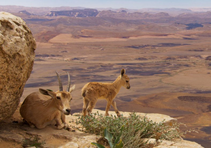 Planet-Earth-II-Mountain-Ibex-03-credit-BBC-Natural-History-Unit-