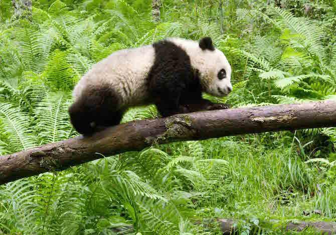 Earth-film-bbc-panda