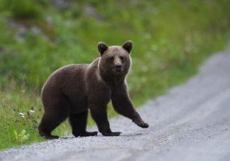 estonia-orso