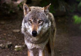 lupo-trentino-legge-abbattimento