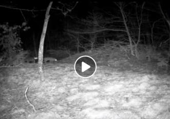 Il video del lupo e della volpe nelle Foreste Casentinesi