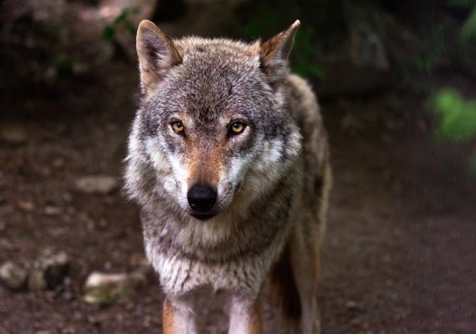 lupo-cosa-fare