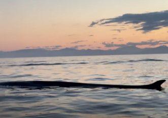 balene-allisola-delba-il-video-emozionante