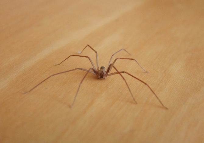 Morire per il morso di un ragno violino