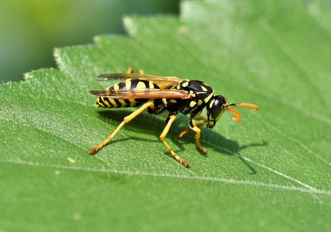 Morire per la puntura di api e vespe: come succede?