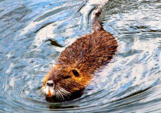 Sono tornati i castori in Italia: avvistati in Alta Pusteria